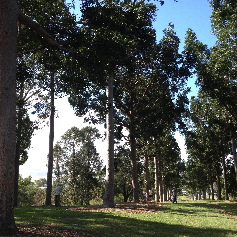 Agathis avenue Sherwood Arboretum